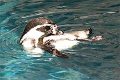 Пингвины в парке орлов