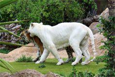 Тигры в Лоро парке