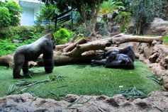 Изучите повадки горилл