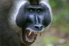 Узконосая обезьяна дрилл