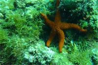 Дайвинг в Хорватии. Морская звезда.